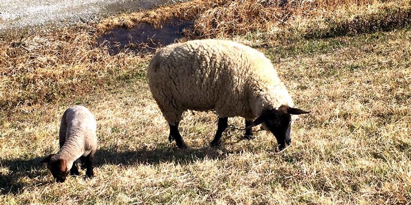 羊IMG_0808